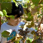 Raul enjoys his grandfathers island vineyard while assisting with the harvest.  Photo by Eliza Massey